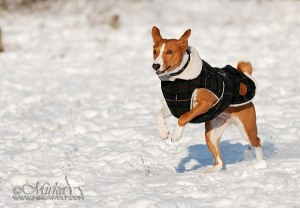 Basenji running