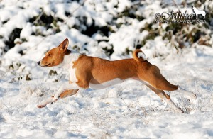 Basenji in full flight